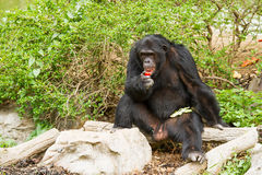 Chimpancé en el chiangmai Tailandia del nightsafari del chiangmai Fotos de archivo