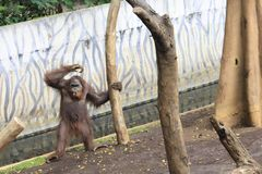 Chimpancé en el parque zoológico foto de archivo libre de regalías