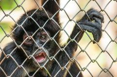 Chimpancé en la jaula Imagenes de archivo