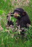 Chimpancé en un llano herboso Fotografía de archivo libre de regalías