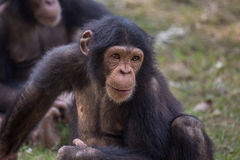 Chimpancé en un parque zoológico - tiro del primer del retrato Los chimpancés se consideran el más inteligente de todos los prima Foto de archivo