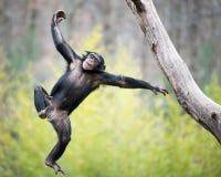 Chimpancé en vuelo Foto de archivo libre de regalías