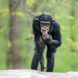 Chimpancé II Foto de archivo