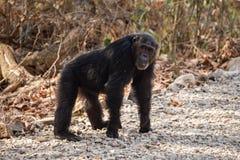 Chimpancé masculino que se coloca en los cuatro Fotos de archivo