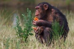 Chimpancé que come una zanahoria Imágenes de archivo libres de regalías