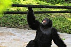 Mirada abierta de la boca del chimpancé para arriba Imagen de archivo libre de regalías