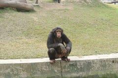 Chimpancé que se sienta en la pared blanca con actitud divertida fotografía de archivo