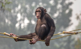 Chimpancé que se sienta en un oscilación en un parque zoológico en la India Fotografía de archivo