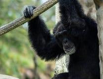 Chimpancé que sienta y que lleva a cabo la cuerda mientras que hace la expresión fotografía de archivo libre de regalías