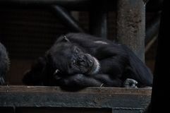 Chimpancé soñoliento Fotografía de archivo