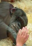 Chimpancé triste bajo célula de cristal del parque zoológico Foto de archivo libre de regalías