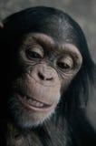 Chimpancé (troglodita de la cacerola) Foto de archivo libre de regalías