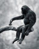 Chimpancé VI Imagen de archivo libre de regalías