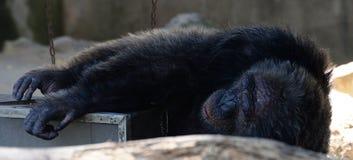 Chimpancé viejo Fotografía de archivo