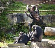 Chimpancés en el juego Foto de archivo libre de regalías