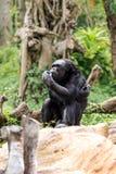 Chimpancés en el parque zoológico Imagenes de archivo