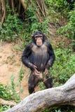 Chimpancés en el parque zoológico Imagen de archivo libre de regalías