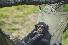 Chimpancés en una hamaca Imagenes de archivo