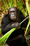 Chimpancés idos salvajes Fotografía de archivo
