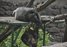 Chimpancés jovenes de risa en el parque zoológico Foto de archivo libre de regalías