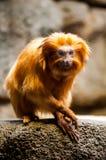 Chimpancés prudentes en el parque zoológico Imágenes de archivo libres de regalías