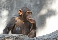 Chimpancé Imágenes de archivo libres de regalías