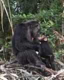Chimpancé Fotografía de archivo libre de regalías