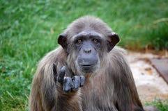 Chimpanc?   Fotos de archivo
