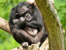 Chimpancé Imagen de archivo