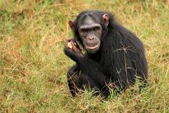 Chimpancé - Uganda Fotos de archivo