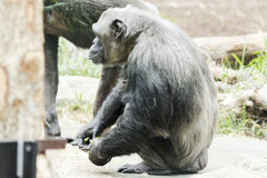 Chimpance in zoological with other chimpaces Royalty Free Stock Images