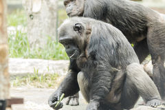 Chimpance in zoological with other chimpaces Stock Photos