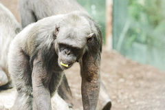 Chimpance in zoological with other chimpaces Royalty Free Stock Image