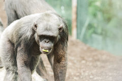 Chimpance in zoological with other chimpaces Stock Photo