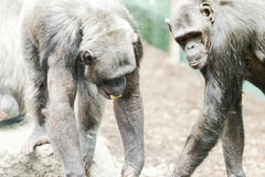 Chimpance in zoological with other chimpaces Stock Photography