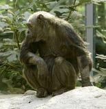 Chimpanse Стоковые Фотографии RF