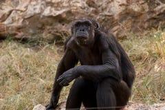 chimpansee royalty-vrije stock fotografie