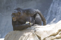 Chimpansee 22 Stock Foto