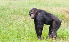 Chimpansee Royalty-vrije Stock Afbeelding
