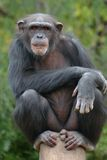 Chimpansee Royalty-vrije Stock Fotografie