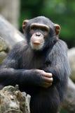 Chimpansee Stock Foto's