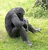 Chimpansee 6 Stock Foto