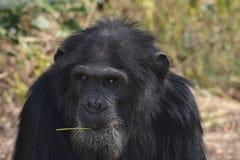 Chimpansee 2 stock afbeeldingen