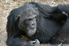 Chimpansee 1 Royalty-vrije Stock Afbeelding