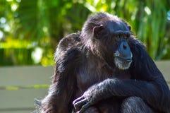 chimpansee stock foto