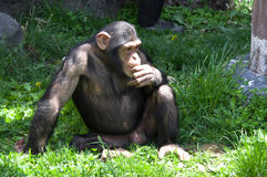 chimpansee Stock Fotografie