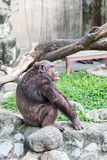 chimpansee Stock Foto's
