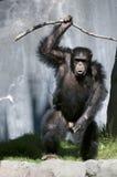 Chimpansee Stock Afbeeldingen