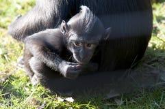 Chimpansee Photos stock