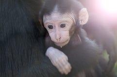 Chimpansee Photographie stock